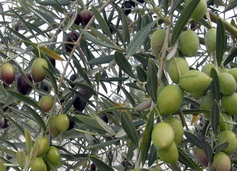 Fertilización olivar Huelva
