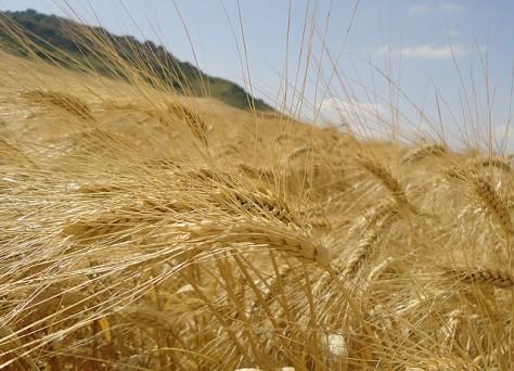 Fertilización cereales huelva