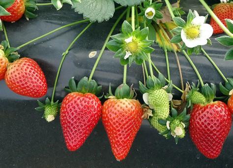 Fertilización de fresas en Huelva