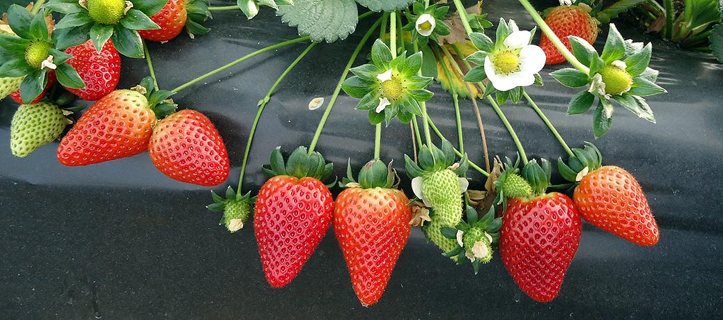 Soluciones de abonado para la fresa