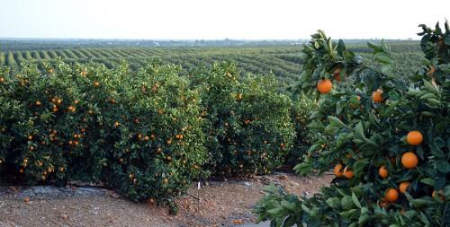 Cultivo de cítricos en Huelva